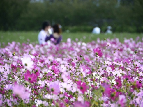in_love_cosmos_flower_garden_220378.jpg