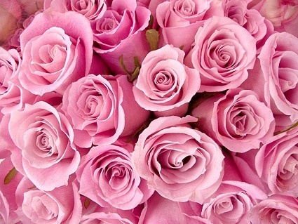 pink roses background picture 166705