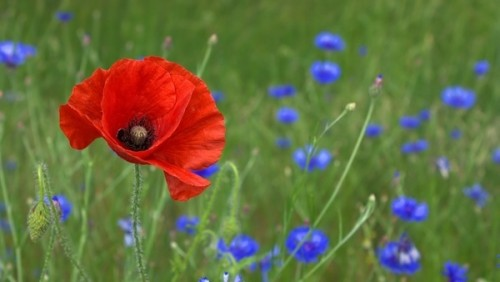 poppy_flower_nature_219157.jpg