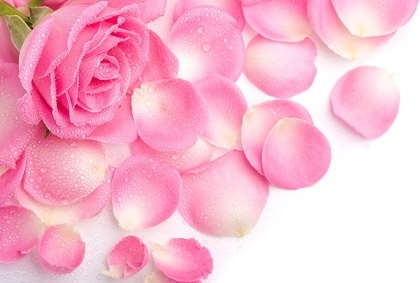 stock_photo_of_pink_rose_petals_166721.jpg