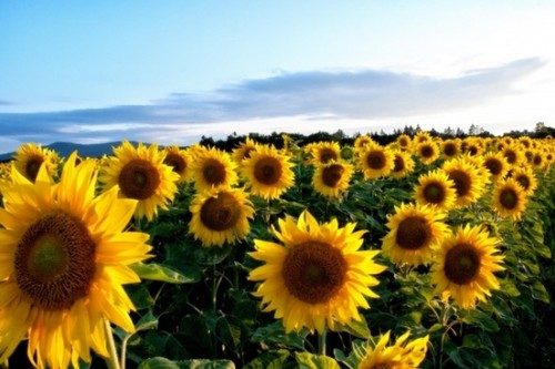 sunflower_yellow_flowers_215332.jpg