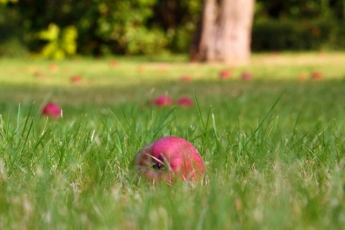 fallen_apples_in_grass_193748.jpg