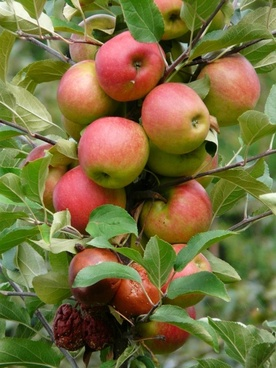 harvest_apple_ripe_221476.jpg
