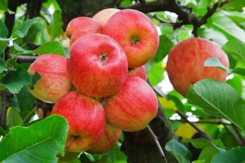red_apples_on_tree_193814.jpg