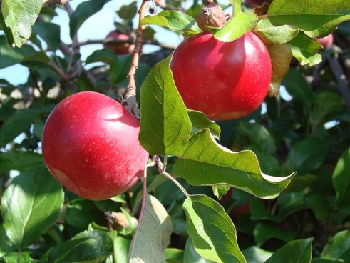 the_two_apples_203943.jpg