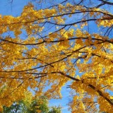 yellow_maple_tree_branches_195875