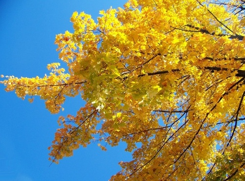 yellow_maple_tree_branches_195876.jpg