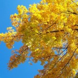 yellow_maple_tree_branches_195876