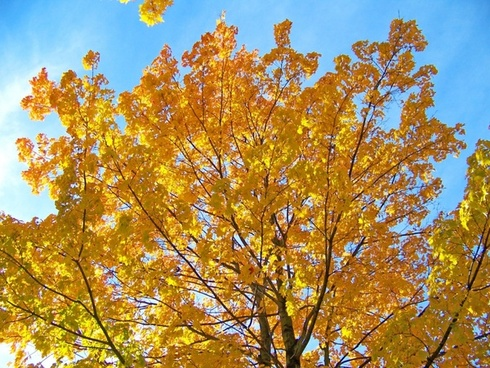 yellow_maple_tree_branches_196299.jpg