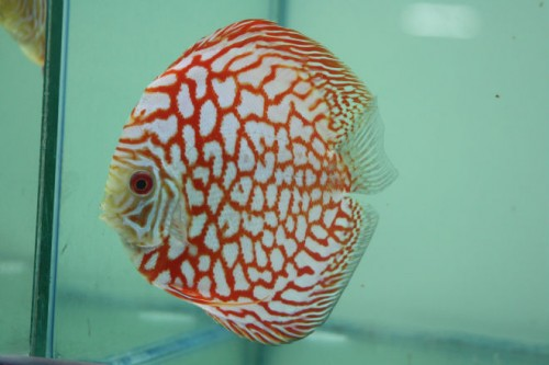 Red map checkerboard Panda full pearl discus
