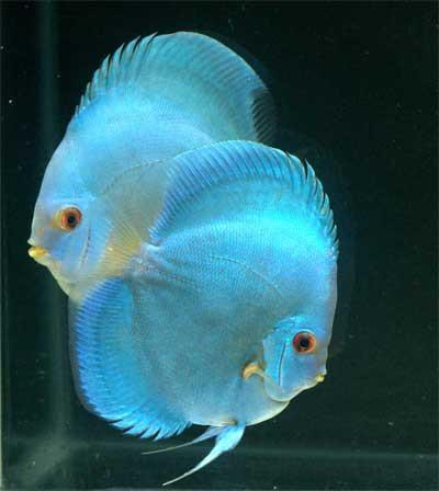 blue-diamond-discus-fish.jpg