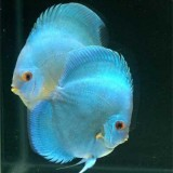 blue-diamond-discus-fish