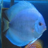 discus-blue-diamond-discus-1_grande